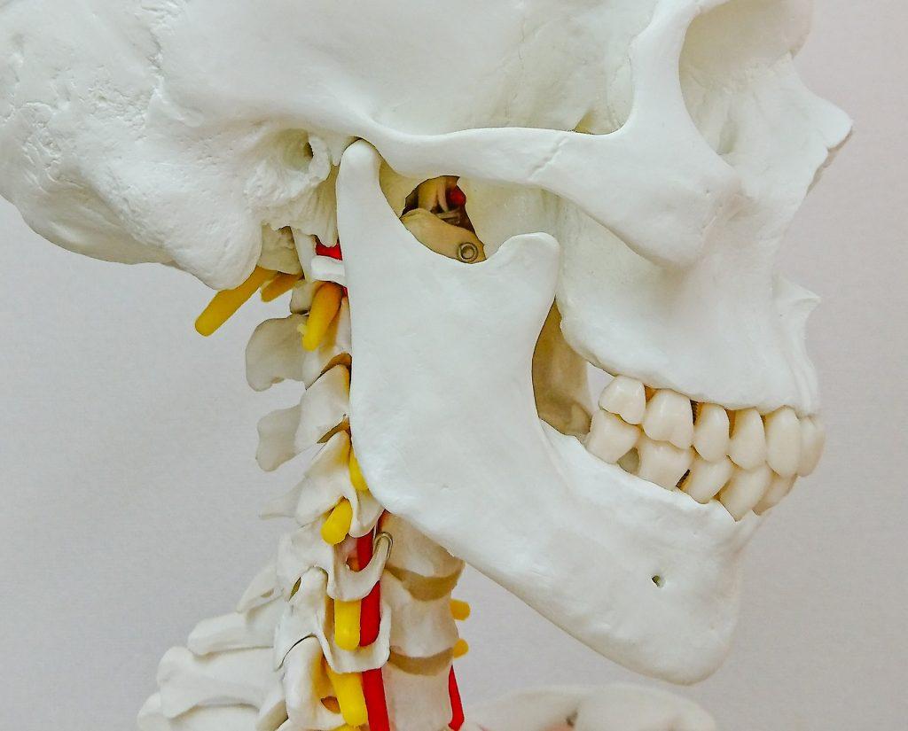 人体模型のアゴ部分の写真。
